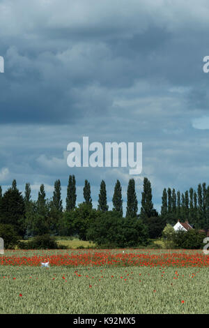 Scenic view of field of wheat (area fenced off where bright red poppies grow on farmland) - Upper Poppleton, near - Stock Photo