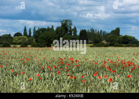 Scenic view of field on flat arable farmland - bright red poppy flowers grow alongside wheat (Upper Poppleton, near - Stock Photo