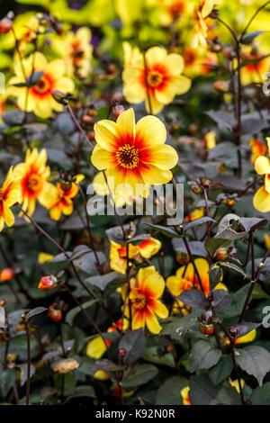 Dahlia 'Moonfire' in flower, yellow petals, orange to red centre,  in September at RHS Garden Rosemoor, North Devon, - Stock Photo