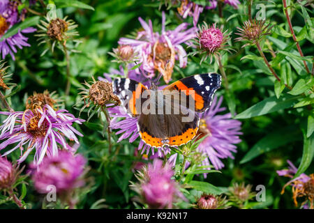 Red admiral butterfly, Vanessa atalanta, close-up dorsal view with open wings at rest on a flower, at RHS Garden - Stock Photo