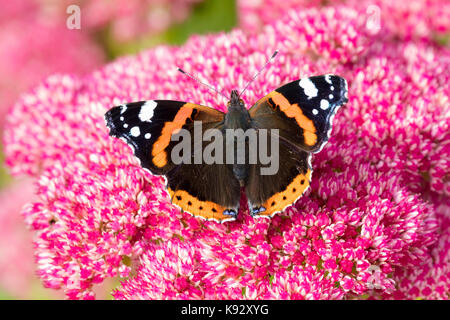 Adult Red admiral butterfly, Vanessa atalanta, feeding on the September flowers of Sedum spectabile - Stock Photo
