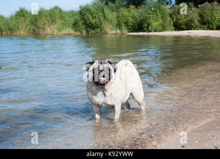sweet pug puppy dog swimming and playing in water outside in park - Stock Photo