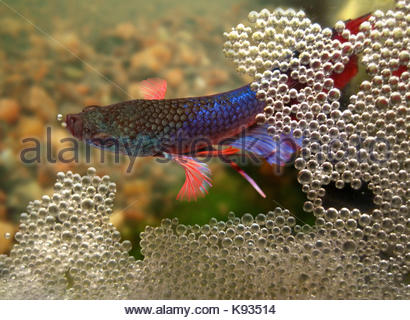 Siamese fighting fish, Betta splendens. Male building the bubble nest at the surface. The eggs float and stay mixed - Stock Photo