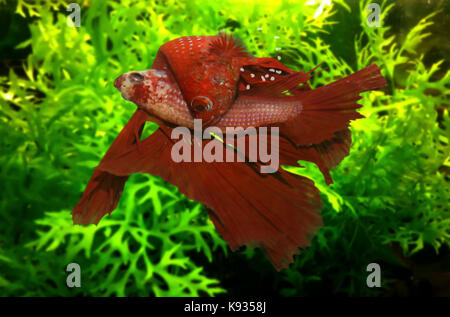 Siamese fighting fish, Betta splendens. The male hugs the female with his body and puts it in an inverted position - Stock Photo