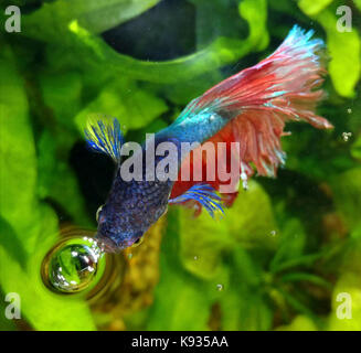 Siamese fighting fish, Betta splendens. Male breathing air at the surface. Those fish possess an head internal organ, - Stock Photo