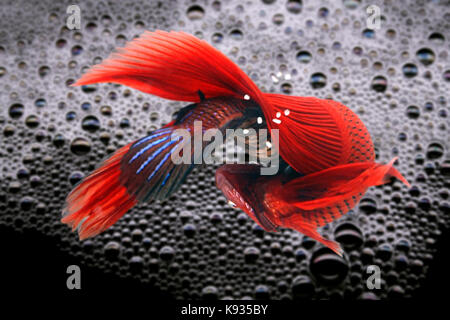 Siamese fighting fish, Betta splendens. Lower view of the couple breeding under the bubble nest at the water surface. - Stock Photo
