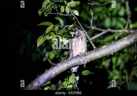 Short or long eared owl sitting on a branch. Asio otus or Asio flammeus with yellow eyes sitting on a walnut tree - Stock Photo
