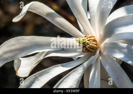 garden flowers, Magnolia stellata, Hamburg, Germany - Stock Photo