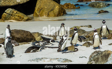 African penguins at Simon's Town, South Africa - Stock Photo