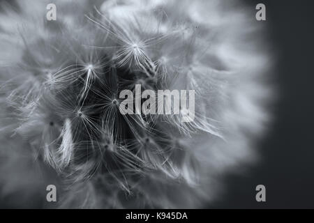 Close up of a Dandelion clock, the ripe seedhead and downy  filamentous achenes on a black background. - Stock Photo