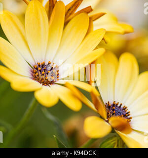 Osteospermum, African daisy, Cape daisy, yellow flowers, closeup, in summer United Kingdom - Stock Photo