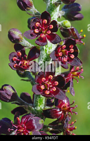 the wildflower Veratrum nigrum, the Black false hellebore, from the family Melanthiaceae - Stock Photo