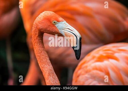American flamingo / Caribbean flamingo (Phoenicopterus ruber) close up of head and beak among other flamingos in flock