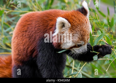 Red panda / lesser panda (Ailurus fulgens) eating bamboo leaves, native to the eastern Himalayas and southwestern - Stock Photo