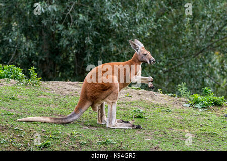Red kangaroo (Macropus rufus) male, native to Australia - Stock Photo