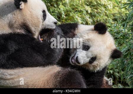 Giant panda (Ailuropoda melanoleuca) female playing with one-year old cub