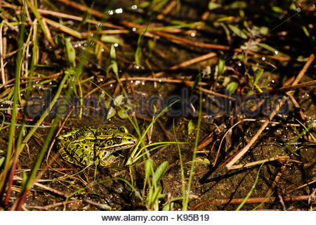 A Northern Leopard Frog hides among the shallow waters and grass of Little John Junior Lake, near Sayner, Wisconsin - Stock Photo