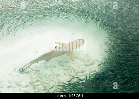 Maldives - a Blacktip Reef Shark ( Carcharhinus melanopterus ) swims through a shoal of small fish; the Maldives, - Stock Photo