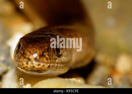 the slowworm - Stock Photo