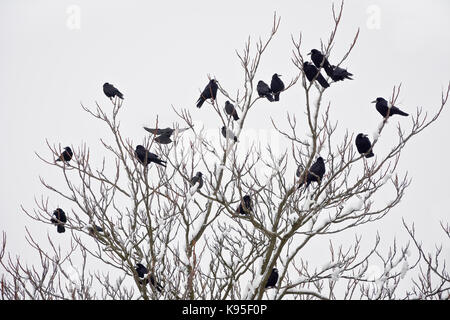 A flock of rooks sitting on a tree in winter. - Stock Photo