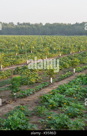 Intercropping,  Young English Walnut orchard, Chandler variety 'Juglans regia'  intercropped with Green Acorn squash - Stock Photo