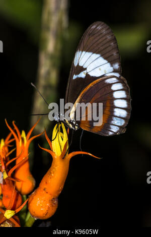 Butterfly feeding on a tropical flower - Stock Photo