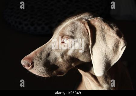 weimaraner dog wants to go outside and play! - Stock Photo