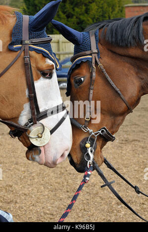 tow horses nose to nose kissing each other. - Stock Photo