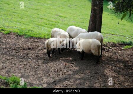 Gruppe Schafe auf der Weide - Stock Photo