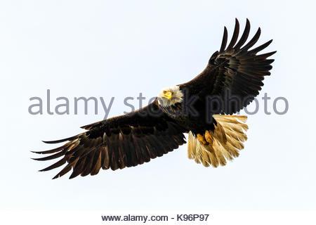 Bald Eagle, Haliaeetus leucocephalus, fishing along the shoreline in Cook Inlet, Alaska. - Stock Photo