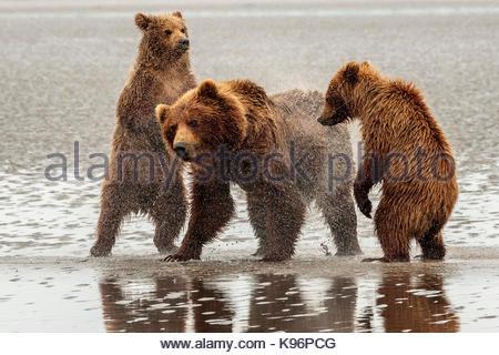 Coastal brown bear, Ursus arctos,  family at Sliver Salmon Creek in Lake Clark National Park, Alaska. - Stock Photo