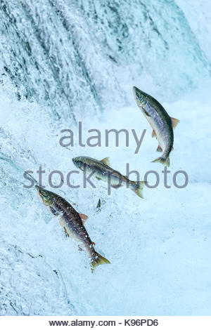 Brown Bears fishing for sockeye salmon below Brooks Falls. - Stock Photo