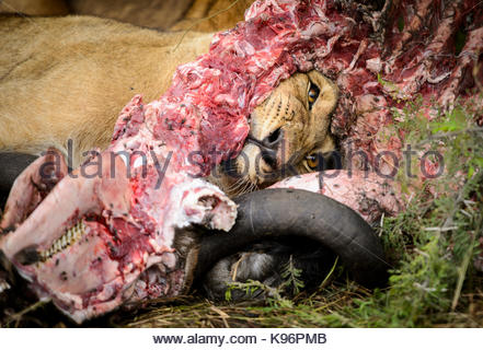 Young lion eating a carcass of a dead wildebeest. - Stock Photo
