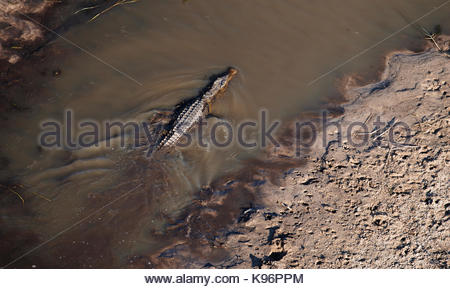 Aerial view of a Nile crocodile, Crocodylus niloticus, in an Okavango Delta channel. - Stock Photo