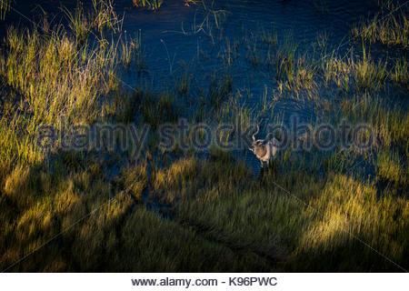 A Greater kudu crossing the flood plains of the Okavango Delta. - Stock Photo