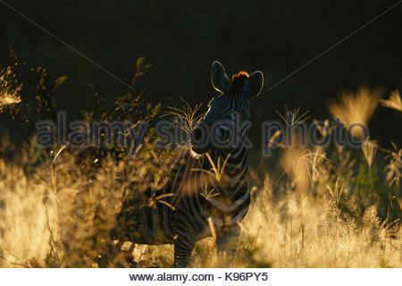 Portrait of a plains or Burchell's zebra, Equus burchellii. - Stock Photo