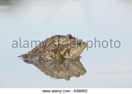 Common toads, Bufo bufo, in mating position called amplexus. - Stock Photo