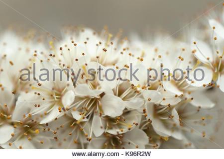 Blackthorn, Prunus spinosa, develops flowers before leaf development. - Stock Photo