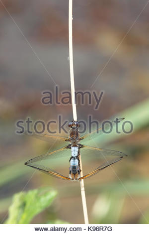 Mating scarce chaser, Libellula fulva, dragonflies on a stem - Stock Photo