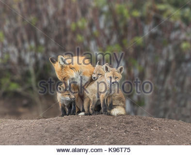 A group of red fox kits, Vulpes vulpes, with adult and pups bonding and grooming. - Stock Photo