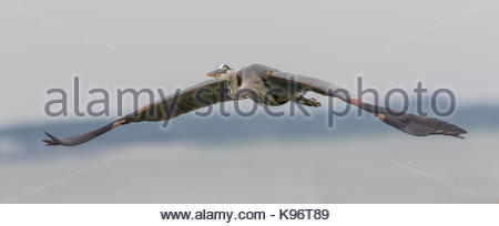 A great blue heron in flight toward a fresh location for fishing. - Stock Photo