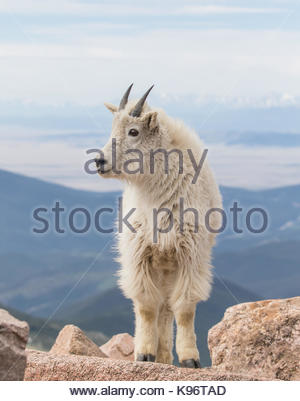 A yearling mountain goat stands on the rocks on the top of Mount Evans. - Stock Photo