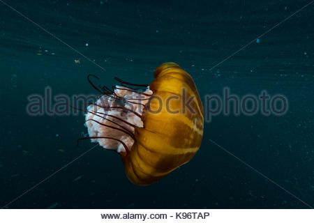 A lion's mane jellyfish underwater. - Stock Photo