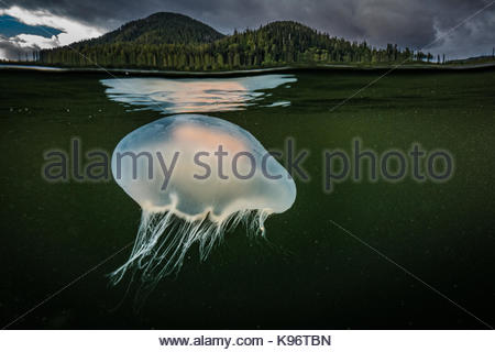 Jellyfish and its reflection under the surface. - Stock Photo