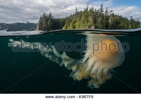 An egg-yolk jellyfish near the surface of the water. - Stock Photo
