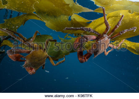 Two crabs attached to kelp underwater. - Stock Photo