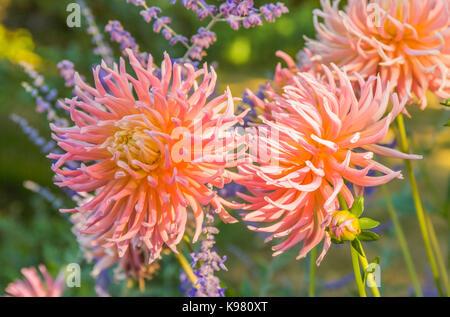 Dahlia blooms in a garden setting. - Stock Photo