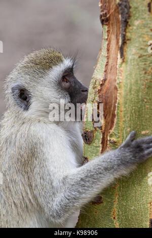 Velvet Monkey in Tarangire National Park - Stock Photo