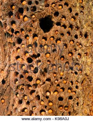 Acorns and Nest Hole of Acorn Woodpecker in Douglas-fir, Phillip Burton Wilderness, Point Reyes National Seashore, - Stock Photo