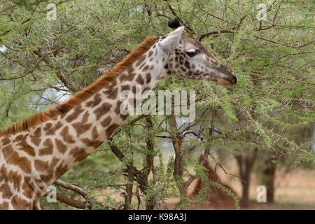 Giraffes in Tanzania - Stock Photo
